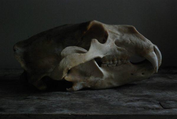 Grote schedel van een ijsbeer. ijsbeerschedel.