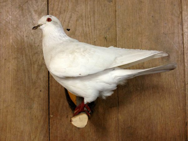 Mounted white pigeon.