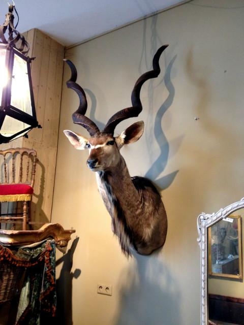 Very big trophy head of a kudu bull.