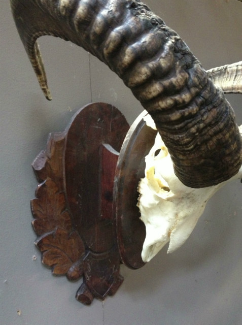 Skull of a big mouflon ram.