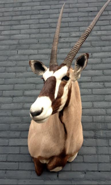 Shoulder mount of an oryx.
