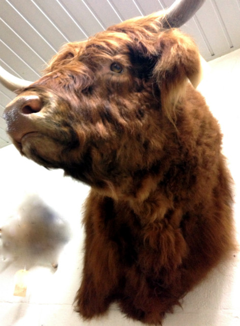 Very big and beautiful mounted head of a Scottish highland bull.