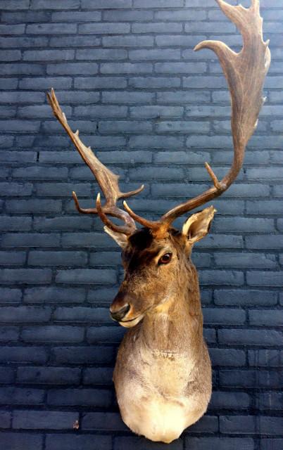 Shoulder mount of a big fallow deer.