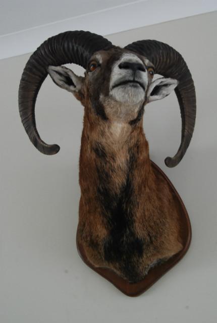 Opgezette kop van een mouflon.