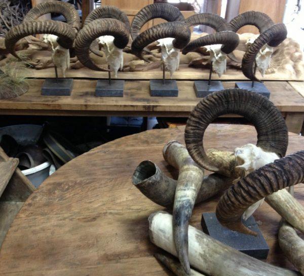 Skulls of mouflon mounted on a Belgian stone base.