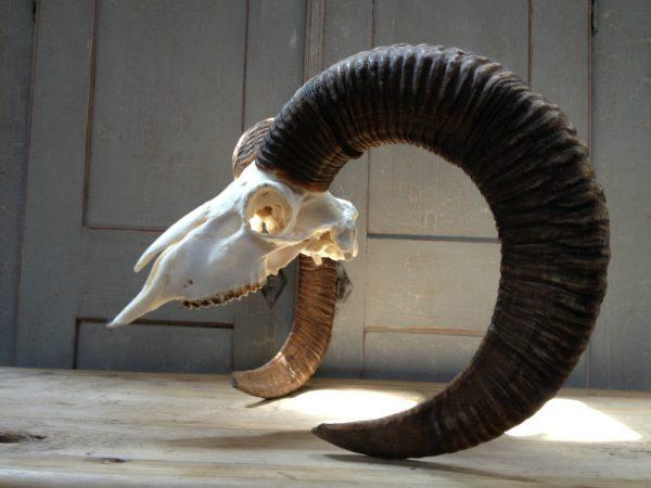 Complete skull of a gold medal mouflon ram.