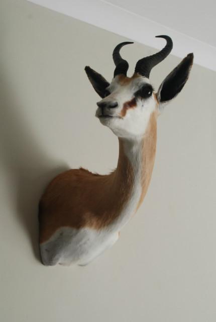 New stuffed head of a springbok.