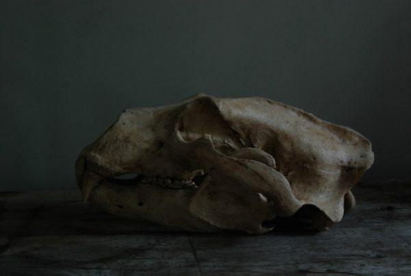 Replica van en gigantische ijsberenschedel.