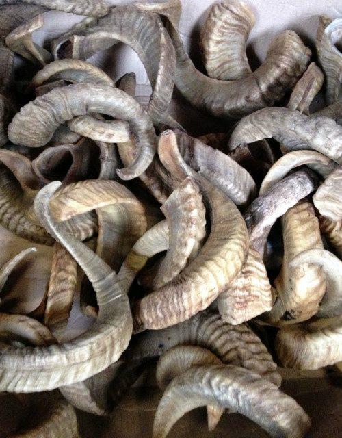Merino schaap hoorns.