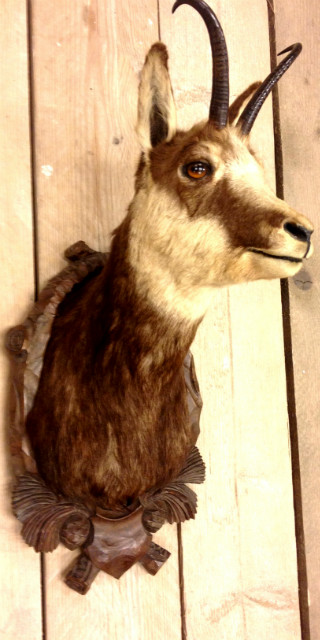 Stuffed head of a Chamois.