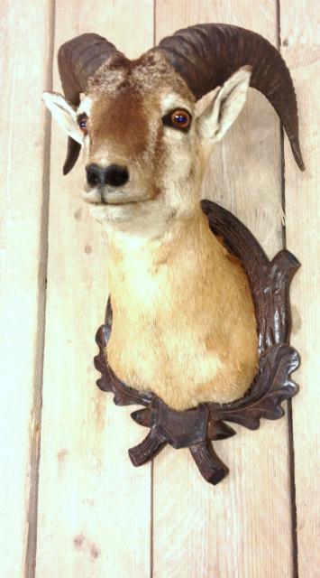 Stuffed head of a mouflon.