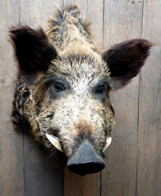 Vintage stuffed head of a huge wild boar.