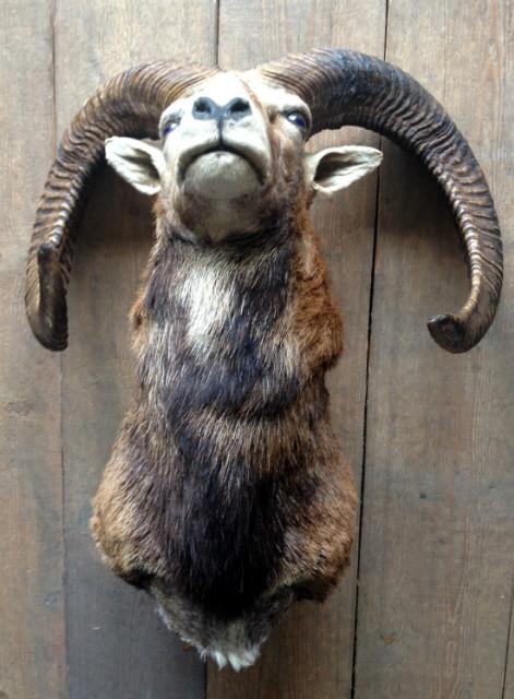 Trophy head of a capital mouflon..