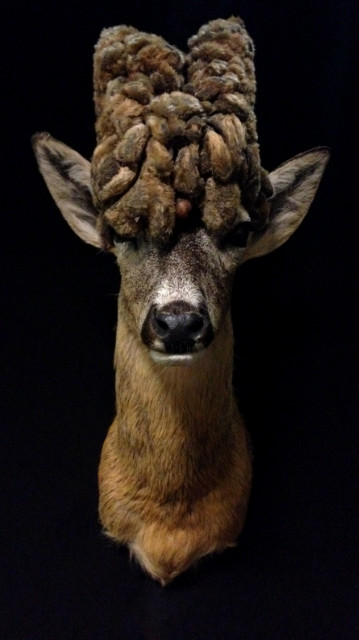 Extremly rare wig roe buck.