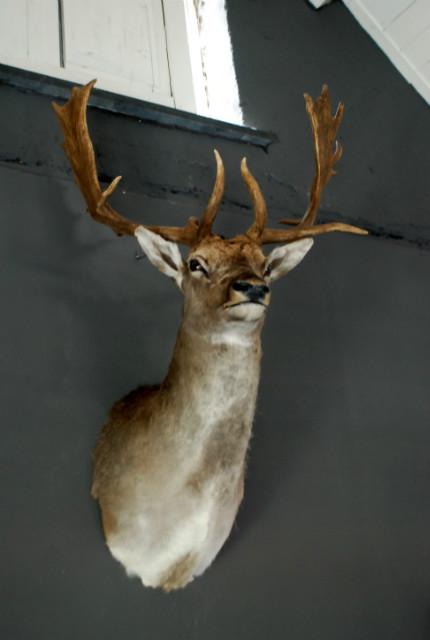 Stately stuffed head of a big fallow deer.