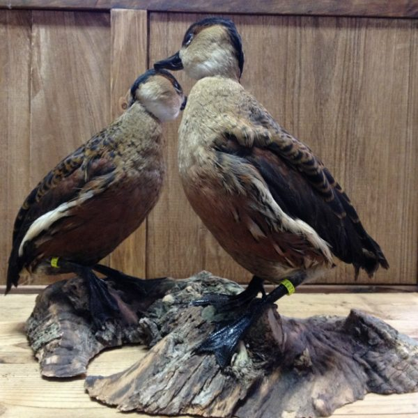 Stuffed Hottentot Teals (Anas hottentota)