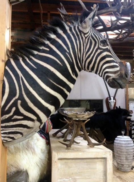 Imposante kop van een zebra.
