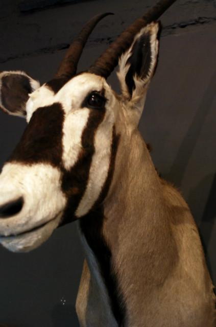 Mooie opgezette kop van een oryx.