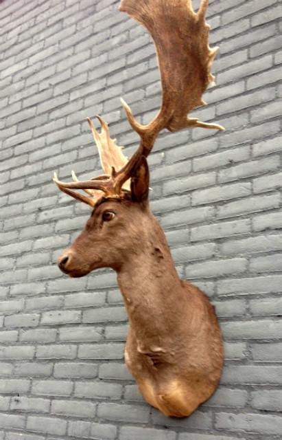 Imposing taxidermy head of a dark fallow deer.