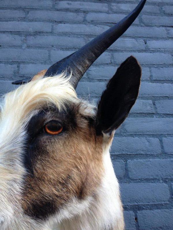 Stuffed head of nice goat.