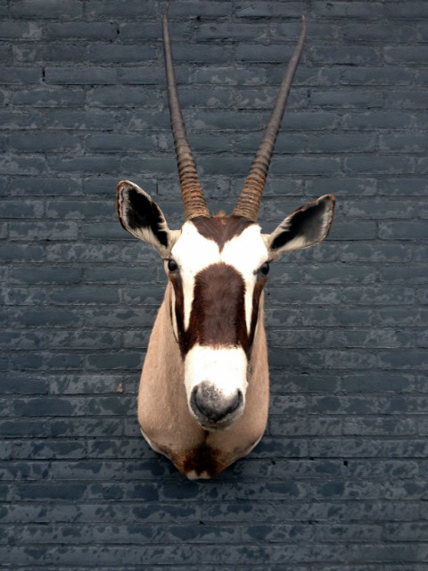 Beautiful stuffed head of an oryx
