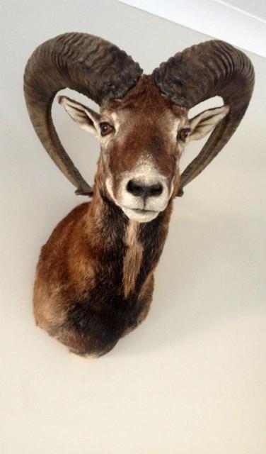 Very lifelike stuffed head of a mouflon.