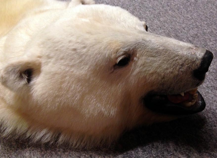 Hoge kwaliteit ijsbeerhuid (speciale aanbieding)..