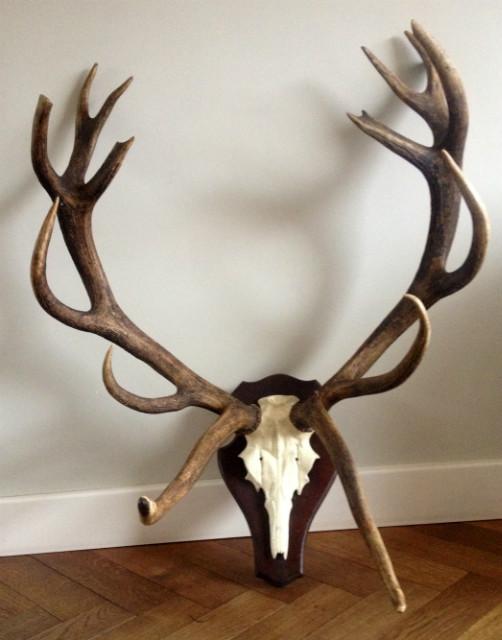 Very special pair of antlers of a deer.
