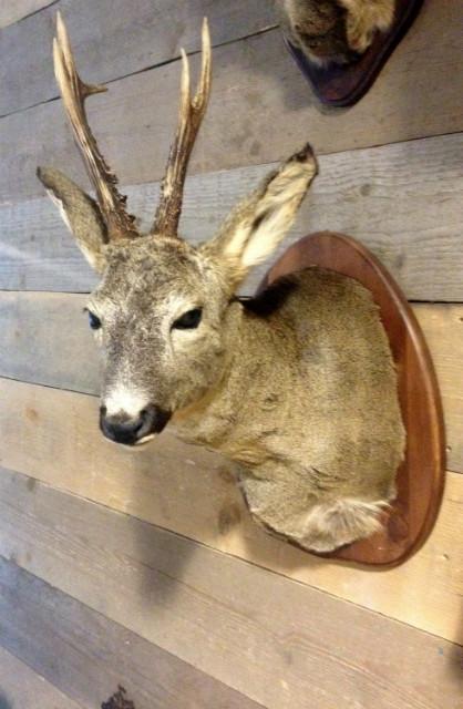 Trophy head of a big roe buck.