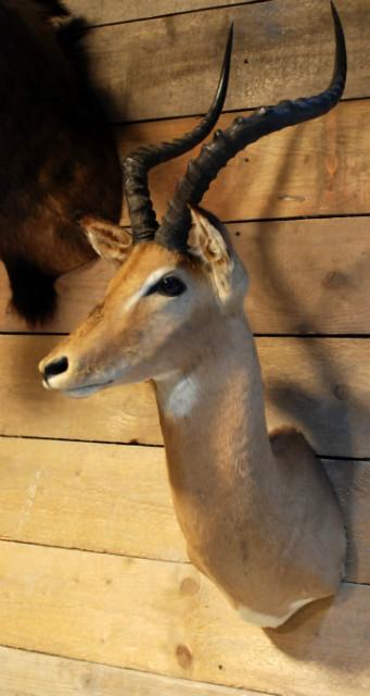 Hunting trophy a nice impala