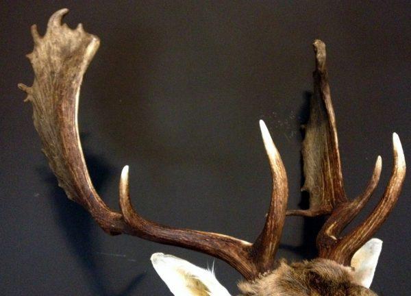 Nice taxidermy head of a big fallow deer.