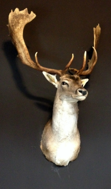 Nice taxidermy head of a big fallow deer with massive antlers.