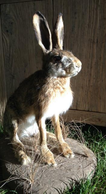Freshly stuffed hare.