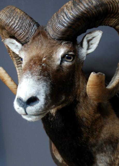 Nice trophy head of a big mouflon ram
