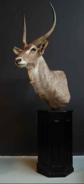 Exclusive piece. Pedestal with trophy head of a waterbock
