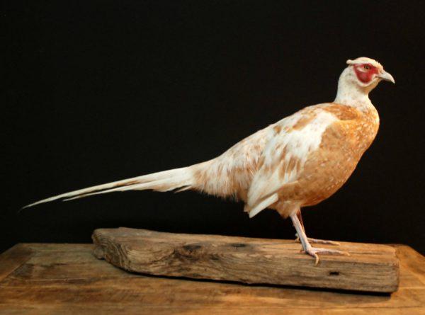Very nice recently stuffed pheasant