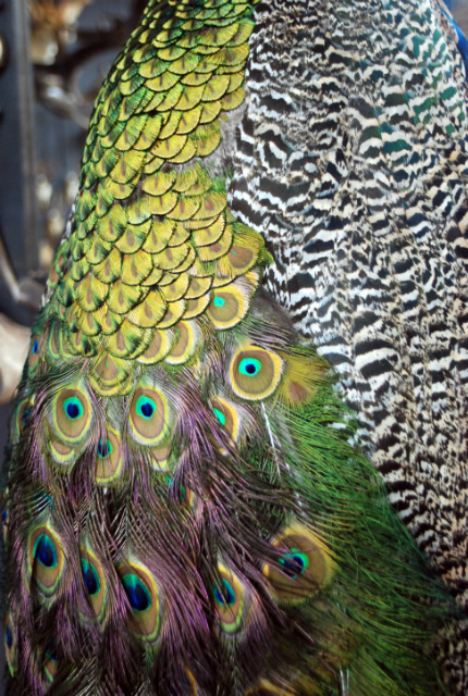 Impressive stuffed peacock.