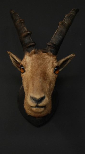 Unique old Victorian stuffed head of an ibex.