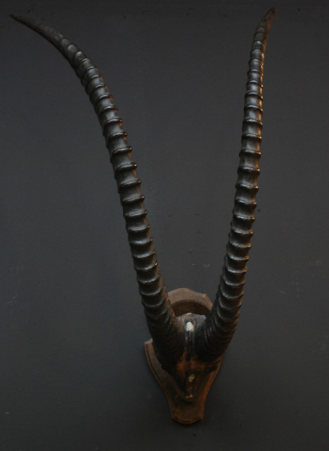 Very nice horns and sable antelope