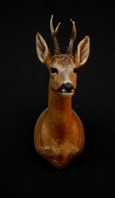 Vintage stuffed head of a roe buck