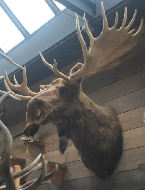 Enorme grote opgezette kop van een Canadese eland XXL