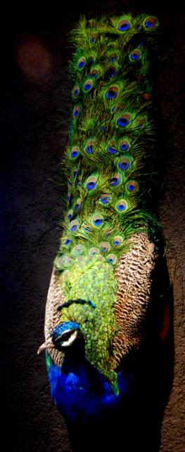 Unieke opgezette pauw. Zeer fraaie wanddecoratie.