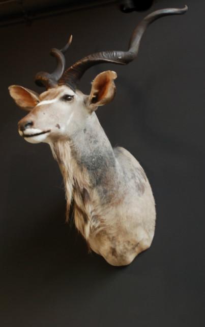 Imposante opgezette kop van een kudu.