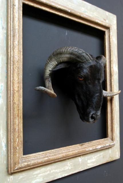 Beautiful recently stuffed head of a ram