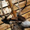 Beautiful full mount whitetail deer.