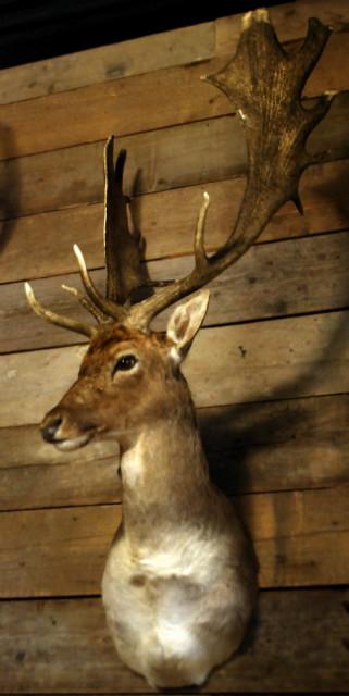 Recent stuffed head of a deer