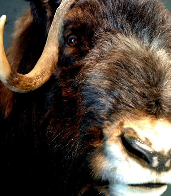 Rough stuffed head of a musk ox