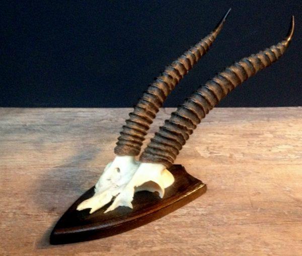 Mooie hoorns van een thomson gazelle. De schedel is gemonteerd op een hard houten paneel. De hoorns hebben een mooie patine.