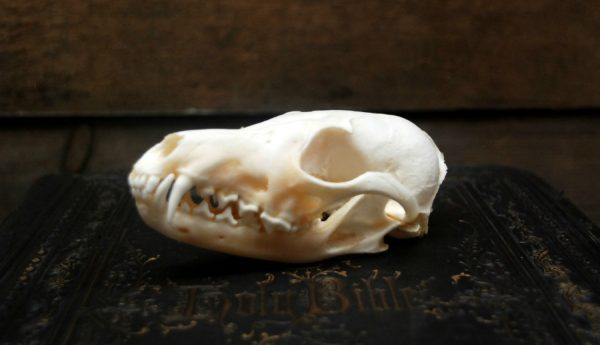Beautiful bleached skulls of foxes