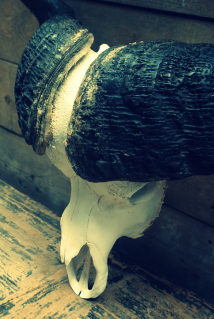 Zeer zware schedel van een kapitale kafferbuffel.